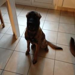 Akilla, chien Berger belge