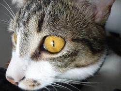 Akina, chat Européen