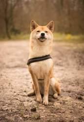 Akina, chien Shiba Inu