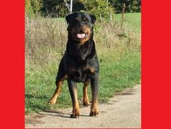 Akino Vom Der Wachposter, chien Rottweiler