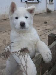 Akira , chien Akita Inu