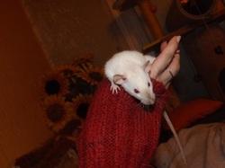 Akira, rongeur Rat