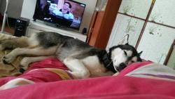 Akira, chien Husky sibérien