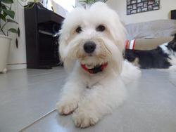 Akira, chien Coton de Tuléar