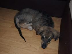 Akira, chien