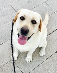 Akira, chien Labrador Retriever