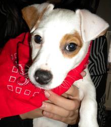 Akira, chien Parson Russell Terrier