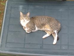 Akita, chat Européen