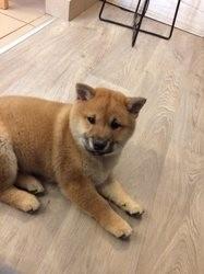 Ako, chien Shiba Inu