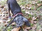 Aladin, chien Yorkshire Terrier