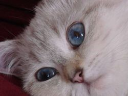 Alaska, chat British Shorthair