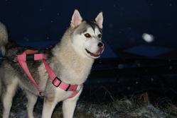 Alaska, chien Malamute de l'Alaska