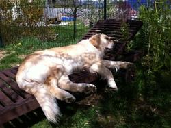 Alaska, chien Golden Retriever