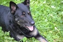 Alaska, chien Berger allemand