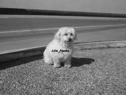 Alaska, chien Bichon maltais