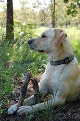Alaska, chien Labrador Retriever