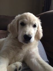 Alaska, chien Golden Retriever
