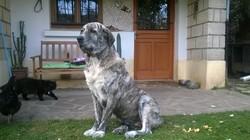 Alba, chien Mâtin espagnol