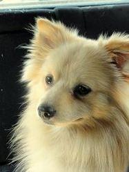 Alban, chien Spitz allemand