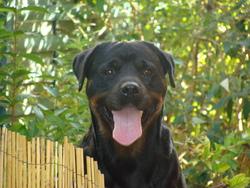 Albane, chien Rottweiler