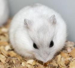 Albas- Neige , rongeur Hamster