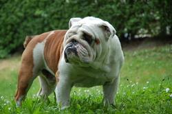 Albert, chien Bulldog