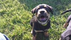 Albi, chien Rottweiler
