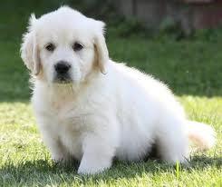 Albi, chien