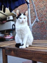 Albina, chat Européen
