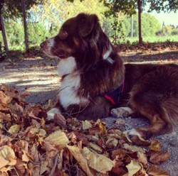 Albo, chien Berger australien
