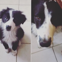Albus, chien Border Collie