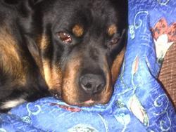 Alco, chien Rottweiler