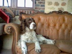 Aldo, chien Épagneul français