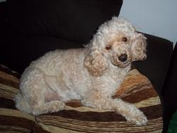 Aldo, chien Caniche