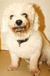 Aldo, chien Bichon à poil frisé