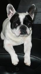 Aldo, chien Bouledogue français