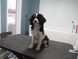 Aldo, chien Cavalier King Charles Spaniel
