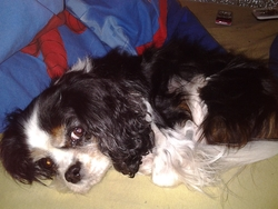 Aleph, chien Cavalier King Charles Spaniel