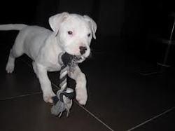 Alex, chien Dogue argentin