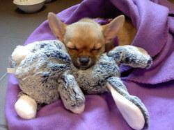 Alex, chien Chihuahua