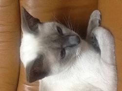 Alexia, chat Siamois