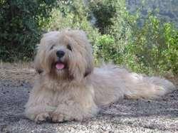 Alf, chien Lhassa Apso