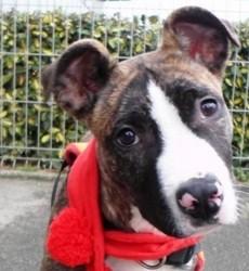Alf, chien American Staffordshire Terrier