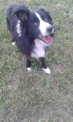 Alfa, chien Border Collie
