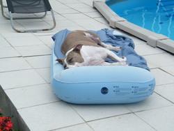 Alfa, chien American Staffordshire Terrier