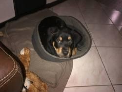 Alfa, chien Rottweiler