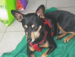 Alfi, chien Pinscher
