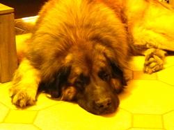 Alfi, chien Leonberger