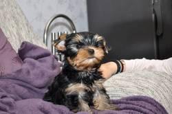 Alfi, chien Yorkshire Terrier