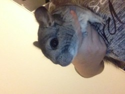 Alfred, rongeur Chinchilla